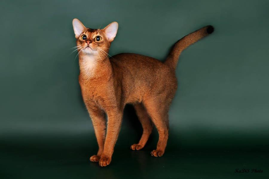 Абиссинский кот дикий фото