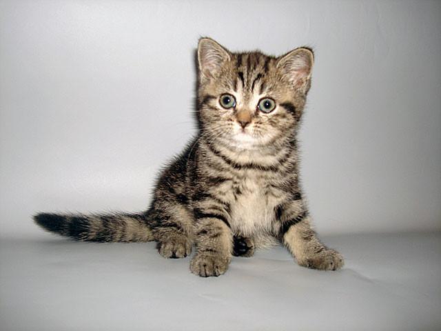 Британские котята саратов