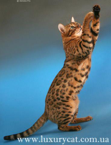 Бенгальская кошка – домашний мини
