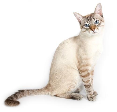 Тайская кошка тайская кошка как
